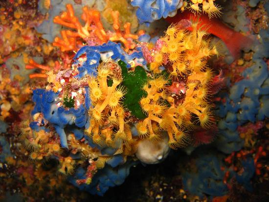 Ponza Island, Italien: coralli visti con ponzdiving