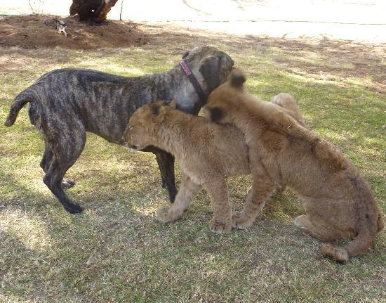 Cullinan, Sør-Afrika: Young lions playing with Beth the family dog