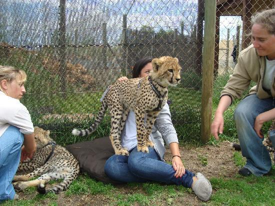 Somerset West, Afrika Selatan: A cheetah cub standing on my daughter!