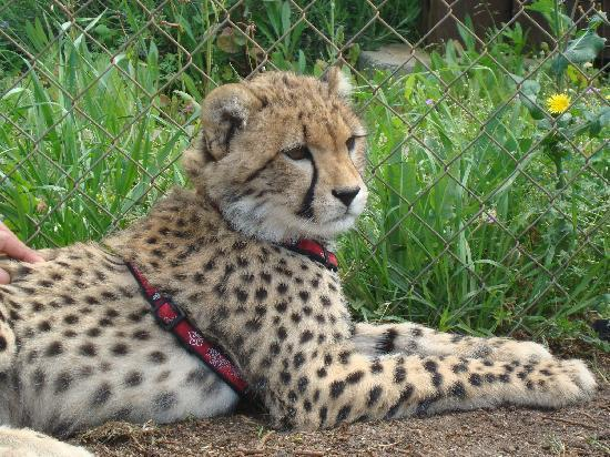 Somerset West, Güney Afrika: One of the 9 month old cubs