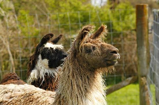 Waitomo Farmstay: Marge and Homer, the llamas