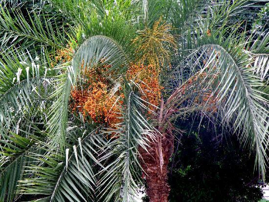 Las Palmas, Espagne : Phoenix canariensis palm in San Telmo Park