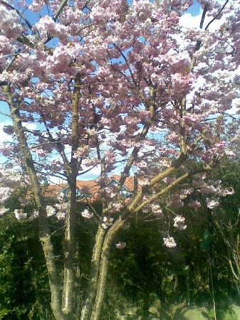 Appleby, UK: Our Cherry tree in our garden .
