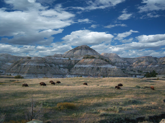 Medora, Dakota del Nord: Buffalo Herd in Theodore Roosevelt National Park