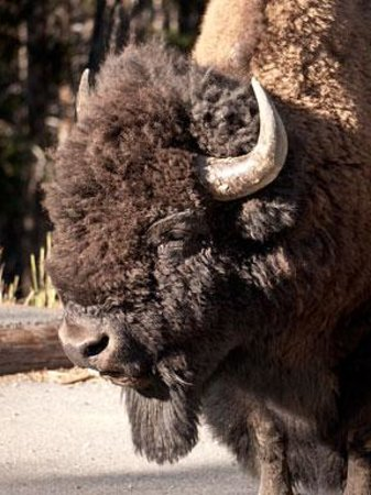 Canyon Village Campground: Bison closeup