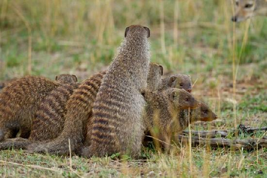 Entim Camp: Banded mongoose in trouble