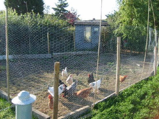 Millbatch Farm: Fresh eggs from our chickens