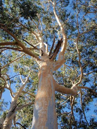 Beautiful gum tree in the Adelaide hills