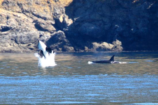 Island Adventures: A killer whale breaching
