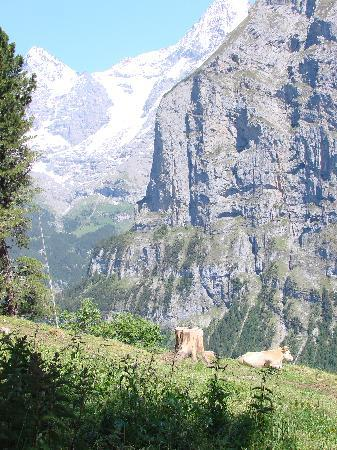 Murren, Zwitserland: Cows in meadows