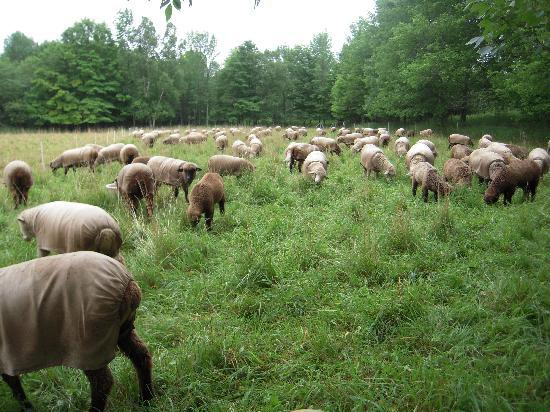Whitefish Bay Farm: Your other hosts - the sheep!