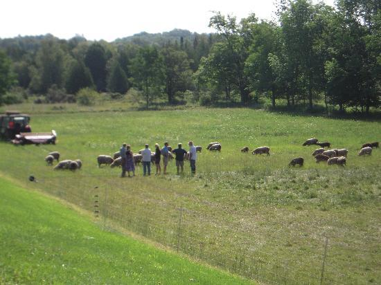 Whitefish Bay Farm: Meeting the sheep on the morning tour