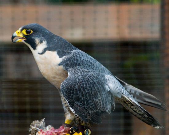 Sitka, AK: Falcon