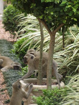 Rosetta House: Vervet Monkeys