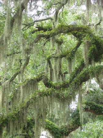 Murrells Inlet, Carolina Selatan: Stunning live oaks