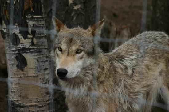 Colorado Wolf and Wildlife Center: Keeping an eye on the food