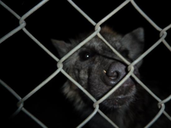George, South Africa: Hyena fun