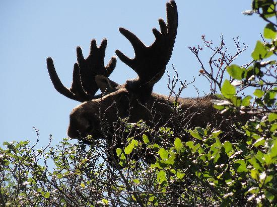 Rocky Harbour, แคนาดา: Moose - up close!