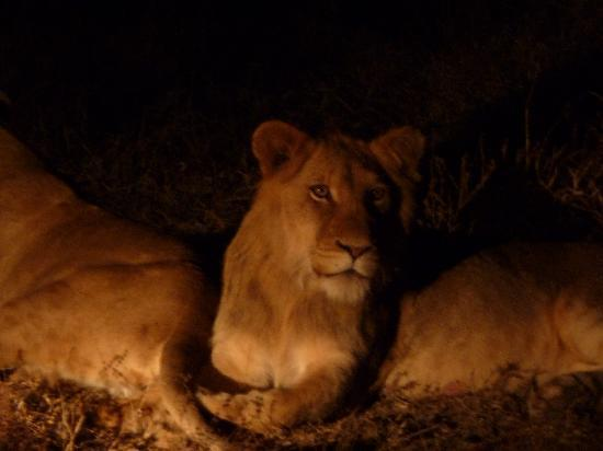 Kapama Private Game Reserve, Sydafrika: Lions at night