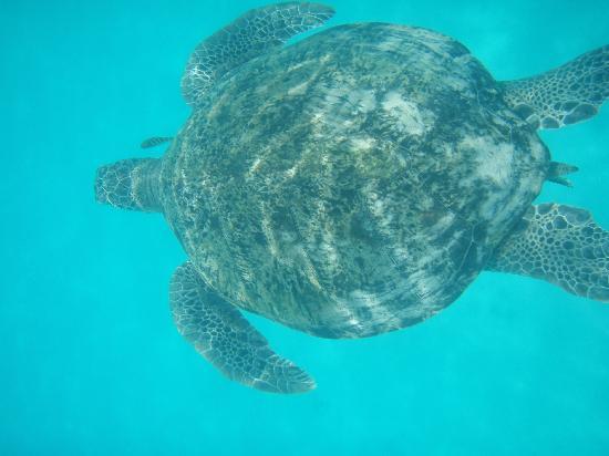 New Cocohut & Cozy Chalets: Turtle seen of snorkling trip