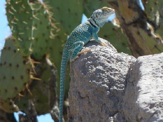 Museo del Desierto Arizona-Sonora: Lizzard, Arizona Sonora Desert Museum