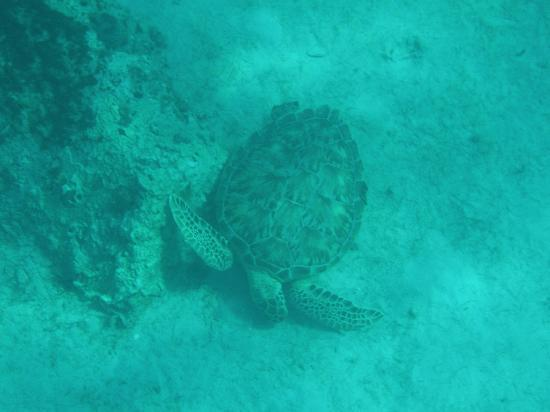 Castaway Cay: Snorkle with Turtles!