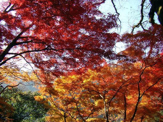 Osaka, Giappone: Maple Leaves in the Fall