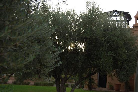 Peacock Pavilions: Olive Trees