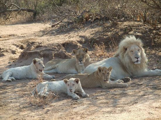 Elandela Private Game Reserve : White lions