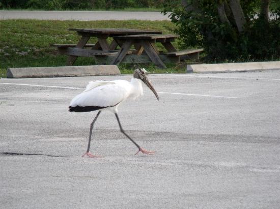 Sebastian Inlet State Recreation Area: Crane