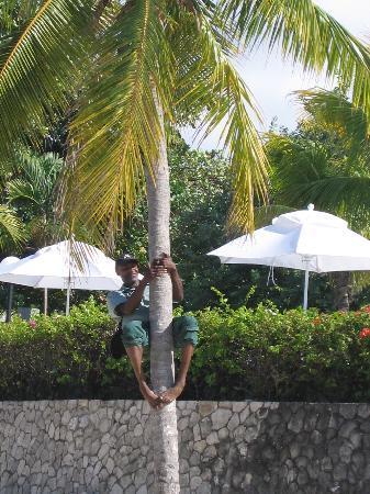 Jewel Dunn's River Beach Resort & Spa, Ocho Rios,Curio Collection by Hilton: Junior climbing the coconut tree for us