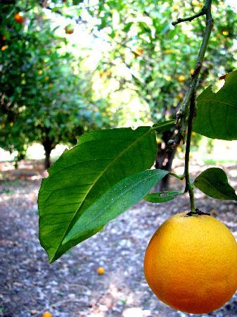 Pepper Tree Retreat: In the Orchards on the Property- free oranges!