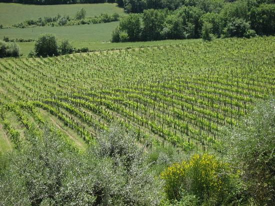 Azienda Agricola Cercignano: Beautiful Vineyards