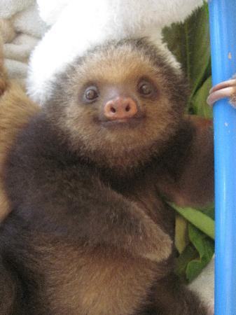 Aviarios del Caribe Sloth Sanctuary : Mateo, a baby 2-fingered sloth