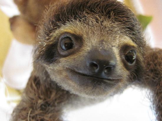 Aviarios del Caribe Sloth Sanctuary : Athena, a baby 3-fingered sloth