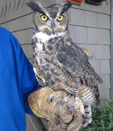 Lake Placid Lodge: Scooter, the gameskeeper's owl