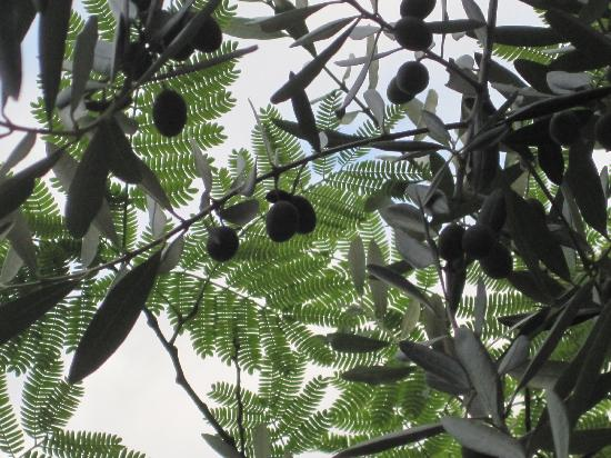 La Bastiglia: Sitting under the shade of the olive trees