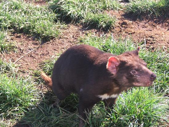 Tazmanya, Avustralya: TASMANIAN DEVIL AT THE ZOO