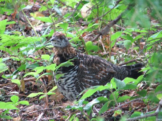 Ingonish, Canada: Spruce Grouse peek a boo game