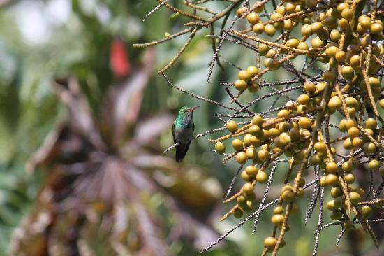 Lucky Bug B & B: Rufous tailed hummingbird