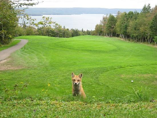 Pulau Cape Breton, Kanada: Fox on the Tee box- Dundee