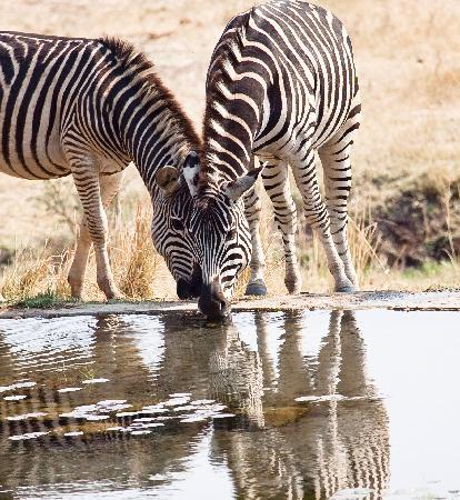 The Stanley and Livingstone : zebra at the watering hole