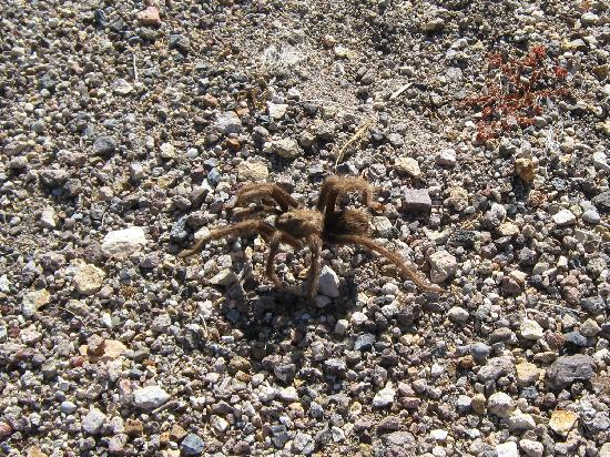Motel 6 Beatty / Death Valley: Tarantula