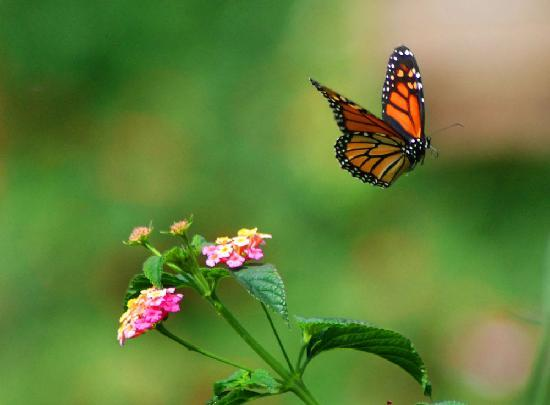 Scarborough Bluffs: Butterflies stop at the Gardens during the migration season