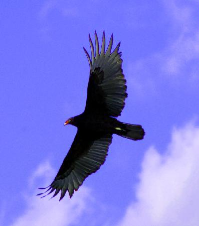 Scarborough Bluffs: Turkey Vulture circling above Rosetta McClain Gardens during fall migration