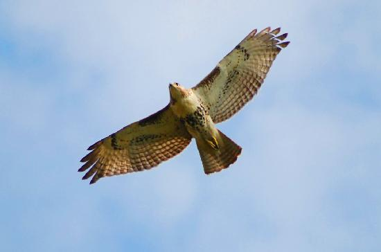 Scarborough Bluffs: A Red Shouldered Hawk Searching the park for prey