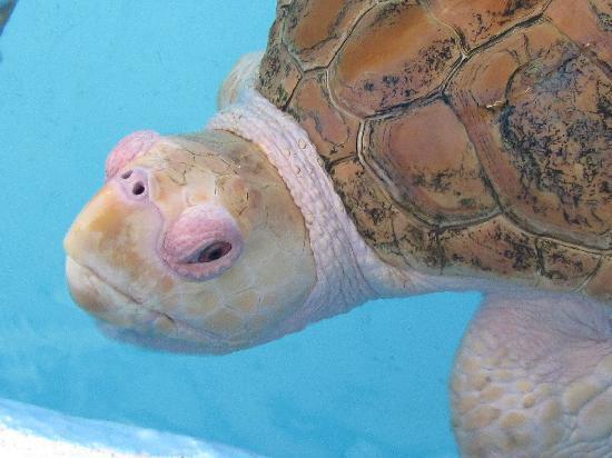 Siesta Key, FL: mote aquarium resident