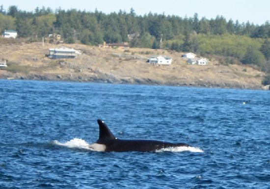 Victoria, Canada : Killer whale west of San Juan Island