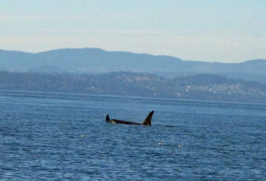 Victoria, Canada: Ruffles has a 6 ft dorsal fin!