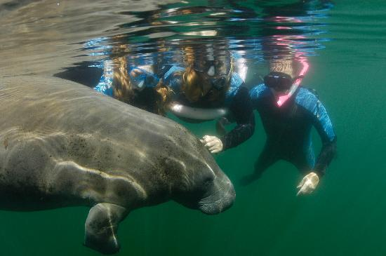 Crystal River, FL: interact with manatees